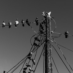 Birds On Wires (Mabry Campbell) Tags: 2016 december h5d50c hasselblad mabrycampbell newmexico santafe taos usa unitedstatesofamerica animals birds blackandwhite clearsky commercialphotography fineart fineartphotography image photo photograph photographer photography pigeon pigeons powerlines sky squarecrop f50 december272016 20161227campbellb0001143 80mm ¹⁄₈₀₀sec 100 hc80