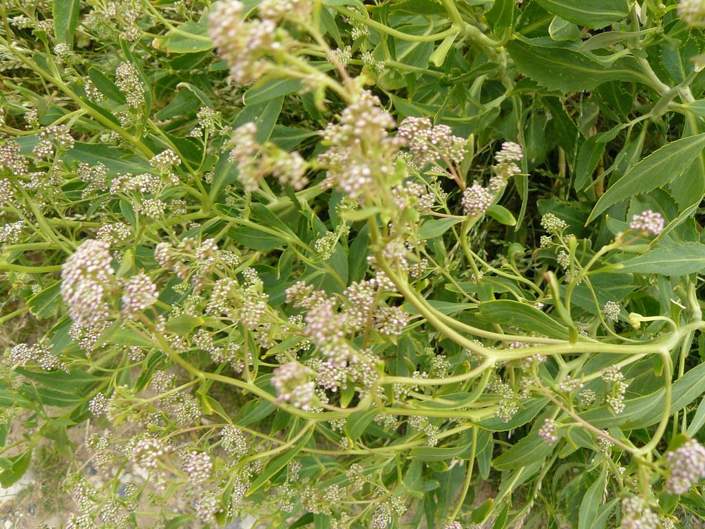 Lepidium latifolium-1