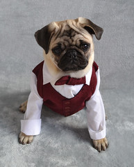 pug puppy dog formal costume newyear cute suit bowtie pets celebration dogs tux tuxedo new year festive pet pugs animal animals funny