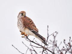 Turmfalke (Falco tinnunculus) (tinka1364) Tags: turmfalke falke