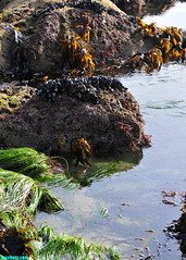 ExoticGardens (mcshots) Tags: usa california socal losangelescounty coast beach lowtide tidepools sealife kelp eelgrass plants seaweed rocks reef ocean sea sand nature travel stock mcshots