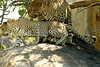 Leopards mating pair (Peet van Schalkwyk) Tags: leopard mating knp southafrica bigfive
