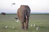 IMGP8187b (Micano2008) Tags: kenia africa amboseli parquenacional pentax mamifero elefanteafricanodesabana loxodontaafricana aves garcillabueyera bubulcusibis