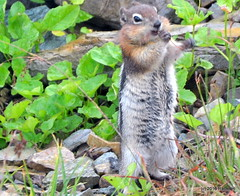 DSC_0657 (rachidH) Tags: squirrel écureuil rodents goldenmantledgroundsquirrel spermophiluslateralis callospermophiluslateralis spermophileàmanteaudoré écureuilterrestreàmanteaudoré spermophileàmanterayée logan pass loganpass westglaciernationalpark montana rockymountains mt rachidh nature