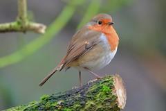 Robin (Erithacus rubecula) (jhureley1977) Tags: robin erithacusrubecula birds birding birdsofbritain britishbirds parusmajor ashjhureley avibase naturesvoice rspbbirders bbcautumnwatch rspb rspbryemeads ashutoshjhureley
