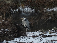Graureiher (michaelmueller410) Tags: bird vogel reiher heron söse soese osterode flus river grey winter januar cold yellow eyes frozen grass