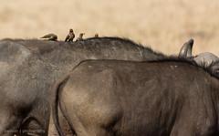 Hitchhikers (mirsasha) Tags: january kenya africanbuffalo 2017 masaimara narokcounty ke