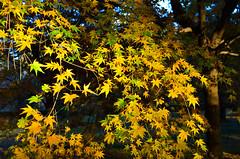 Couleur Citron (Jonathan Faney) Tags: autumn kyoto japan asia leaves tree fall momiji koyo maple color