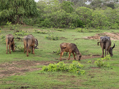 PB094819 Grazing water buffaloes.jpg (JorunT) Tags: rundreise vannbøffel srilanka 2016 bubalusbubalis yala nasjonalpark
