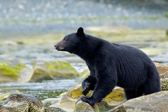 Assessing the area. (r) (Blingsister) Tags: americanblackbear blackbear ursusamericanus scarface bear blingsister melanieleesonwildlifephotography canon canon7dmarkii canonef100400mmf4556lisiiusm14xiii northernvancouverisland