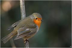 Rouge-gorge_Erithacus rubecula (nicéphor) Tags: robin bird vögel oiseau pasereau passériforme tamron150600 canon eos7d wildlife winter