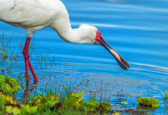 african spoonbill catching fish at selous GR, tanzania 2 (Russell Scott Images) Tags: selousgamereserve tanzania bird africa africanspoonbillplataleaalba catchingfish african russellscottimages