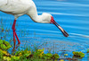 african spoonbill catching fish at selous GR, tanzania 2 (Russell Scott Images) Tags: selousgamereserve tanzania bird africa africanspoonbillplataleaalba catchingfish african
