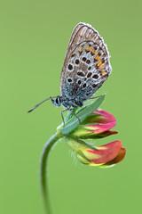 Argus-Bläuling │ Silver-studded blue │Plebejus argus (Bluesfreak) Tags: insekten schmetterlinge tagfalter butterflies argusbläuling silverstuddedblue plebejusargus unterfranken taubertal lepidoptera biodiversität biodiversity