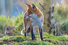 Fox (parry101) Tags: fox foxes animal animals vulpes vulpesvulpes red nature wild redfox outdoor lingfield surrey british wildlife centre geraint parry geraintparry