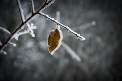 frosty leaf (PKub) Tags: ast blaetter blatt branch braun brown flora leaf leaves natur nature photography pkub pkubimagesgmailcom pkubimages schnee wetter weather weiss white zweig bough branche frostig frosty plants snow