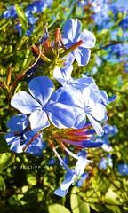 351. GARDEN GEMS: Plumbago (www.YouTube.com/PhotographyPassions) Tags: plant shrub blue plumbago bush flowers buds blossoms petals flora mlpphflora blooms garden blueflowers flower