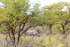 Black Rhino (RunningRalph) Tags: africa blackrhinoceros etosha etoshanp namibia neushoorn rhinoceros southernafrica zwarteneushoorn oshikotoregion namibië