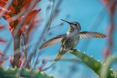 Anna's Hummingbird (halladaybill) Tags: annashummingbird crescentbaypointpark krantzaloe lagunabeach california unitedstates us bird animal calypteanna californiacoast orangecounty nikond500 nikkor80400zoomlens