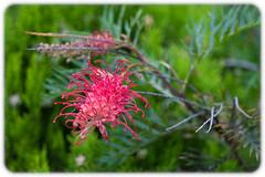 Grevillea 'Robin Gordon' (Craig Jewell Photography) Tags: australia flora flower green grevillea pink robingordon sydney ¹⁄₂₅₀sec f28 0ev canoneos30d iso200 20100130112720mg4978cr2 craigjewell