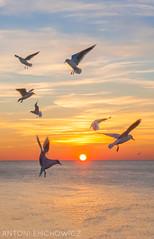 MOO (antoni emchowicz) Tags: brightonseagulls seagull seagulls sunset seasunset herringgull gull
