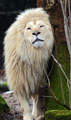african lion Credo Ouwehands JN6A9299 (j.a.kok) Tags: leeuw lion credo afrikaanseleeuw africanlion witteleeuw whitelion pantheraleoleo ouwehands ouwehandsdierenpark ouwehandszoo kat cat mammal africa afrika zoogdier predator