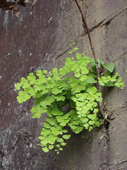 Maidenhair fern (Adiantum aethiopicum) beneath Burwood railway station