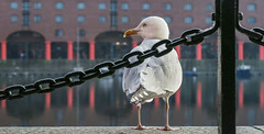 Albert Dock, Liverpool (that Geoff...) Tags: albertdock liverpool mersey merseyside bird gull seagull dockside unitedkingdom uk greatbritain bg canon powershot g7x england