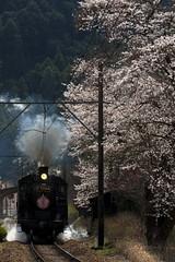 大和田の桜とC56 (MomoRingo58) Tags: 鉄道写真 鉄道 大井川鉄道 蒸気機関車 c56 steamlocomotive train rail railways sl 桜
