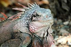 Big Kahuna (socalgal_64) Tags: nature animal natural reptile lizard iguana scales claws stthomas usvirginislands reptilian specanimal coth5 socalphotography carolynlandi