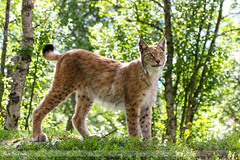 Strike a pose (Anita Price Foto) Tags: green nature beautiful animal norway outdoors europe colours bokeh stunning endangered predator lynx langedrag statuesque wildlifepark eurasianlynx langedragnaturepark