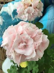 Flowers (ulvstedt) Tags: pink flowers blomma pelargon