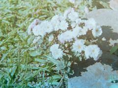 (Lolita Storm) Tags: flowers film analog photo spring pentax k1000 analogue analogic