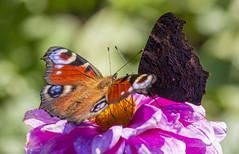Schmetterlinge (ulrike.heck) Tags: pink sun blume makro sonne nahaufnahme fhler ulrikeheck