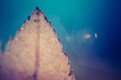 151017 autumn leaf (andraideal) Tags: autumn macro nature closeup canon leaf moss sweden tokina hedemora andraideal