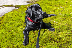 Keaton (Robert Wash) Tags: dog ny newyork puppy lab labrador adirondacks labradorretriever adk stregis keaton saintregis stregismountain saintregismountain