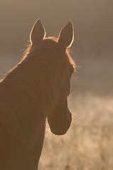 Senner-Pferd | Portrait 2 (w-venne) Tags: portrait de deutschland pferd nordrheinwestfalen naturschutzgebiet säugetier senner schlosholtestukenbrock nsgmoosheide wildbahnsennerpferde