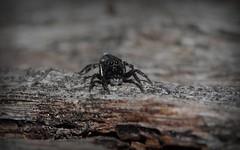 woodland jumpers (dustaway) Tags: arthropoda arachnida araneomorphae araneae salticidae euophryinae jumpingspiders woodland numinbahforestreserve nerangrivervalley australianspiders sequeensland queensland australia maratus spinne