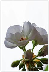 Nature - Flowers - The Beautiful Geranium Backlit from a Window. (Bill E2011) Tags: flowers light white colour macro nature canon petals geranium cranesbill