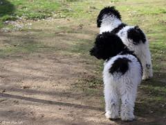 011861 - Perros de agua (M.Peinado) Tags: camping copyright españa dog dogs animal canon spain perro perros animales kdd comunidaddemadrid 2015 perrodeagua becerrildelasierra canoneos60d 22112015 pdaesdelassierrasdeguadarramamadridyguadalajara perrosdeaguayamigos rinconanimalista noviembrede2015 kdd22112015
