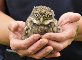 One of our little owls that fell out of the nest site