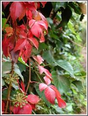 Perspectiva en verde y rojo. (margabel2010) Tags: naturaleza verde hoja hojas rojo flora rosa campo otoo naranja jardines yedra airelibre enredadera granate