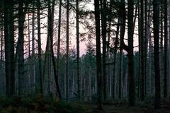 La foresta al tramonto (fotografia per passione) Tags: autumn sunset forest tramonto herbst autunno casentino foresta pratomagno valdarno lorociuffenna leforestedelpratomagno marksoetebierphotography