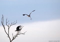 Heron in a Tree (meredith_nutting) Tags: africa tree heron rwanda herons eastafrica easternafrica