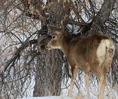 Mule Deer Doe With Cat It Chased Up A Tree (fethers1) Tags: rockymountainarsenalnwr rmanwr rmanwrwildlife deer muledeer muledeerdoe