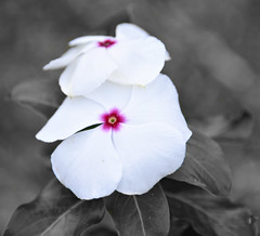 Project 366 - 12/21/2016 - 356/366 (cathy.scola) Tags: project365 project366 odc flower white selectivecolor vinca periwinkle