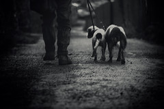 Footpath Home ..... (Missy Jussy) Tags: pets dogwalk dogs dusk englishspringer springerspaniel spaniel man trevorkerr path footpath bethanylane newhey lane rochdale canon canon5d canon5dmarkll mono monochrome bw blackandwhite blackwhite mollie rupert littledoglaughednoiret