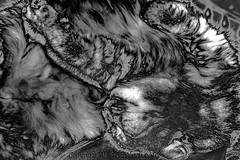 Cat@Rest (fishmonger45) Tags: ziggy hss photoshop photomatix cats bw monochrome greatphotographers hdr hdraddicted