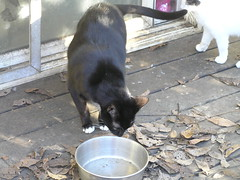 Der Weasler sniffs feral cats' water bowl (meowhous the iconoclast) Tags: sweetpea feral cat weasleyboy