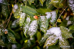 Winter Storm - January 7, 2017 (The Suss-Man (Mike)) Tags: cumming forsythcounty georgia nature snow snowday snowingeorgia sonyilca77m2 sussmanimaging thesussman